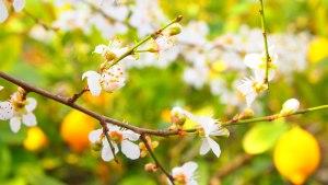 limoneros-en-flor